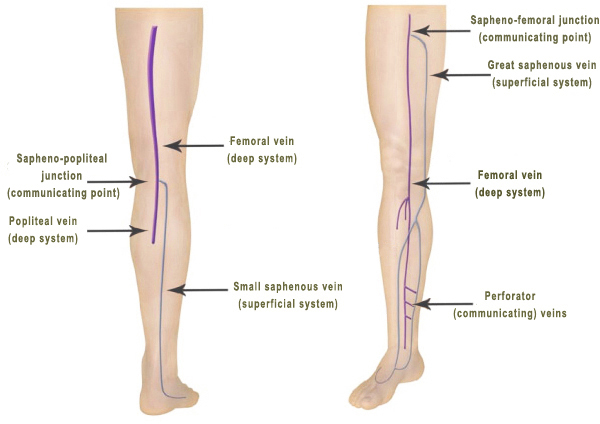 THE PRINCIPLE  SUPERFICIAL AND DEEP VEINS OF THE LEG